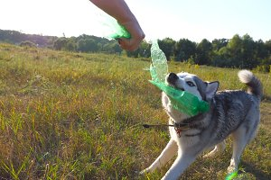 Playful siberian husky dog biting a