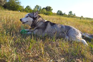 Dolly shot of young siberian husky