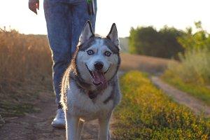 Close up of siberian husky dog