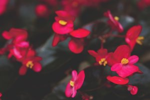 Crimson begonia blurred