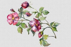 Wonderful bloom rose PNG watercolor