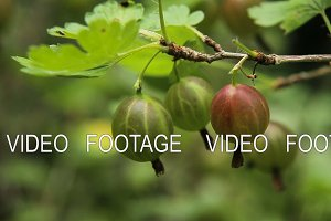 Gooseberry fruit on the branch in