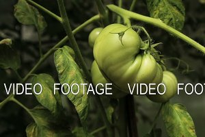 Green tomatoes on branch