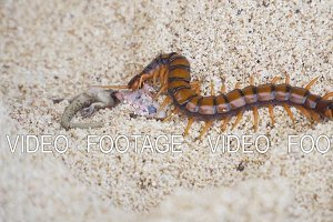 Centipede, Scolopendra eats gecko on