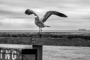 Gull on Weathered Pier