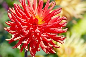 Red large flower dahlia on flowerbed