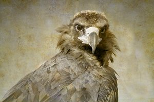 Cinereous Vulture portrait