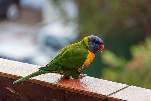 Rainbow lorikeet parrot bird sitting
