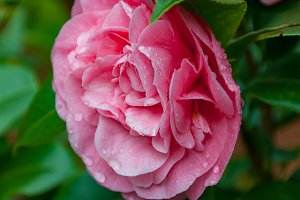 Bright pink rose camellia flower in