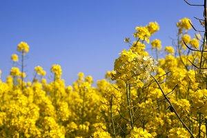 yellow blooming rape