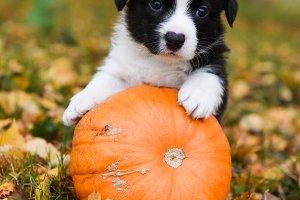 corgi puppy dog with a pumpkin on an