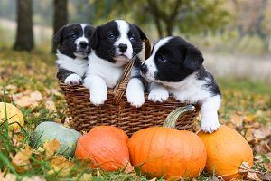 corgi puppies dogs with a pumpkin on
