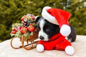 corgi puppy in santa hat