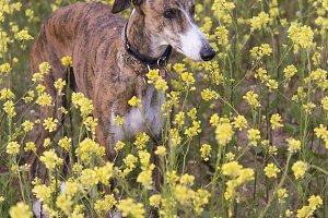 Greyhound Happy