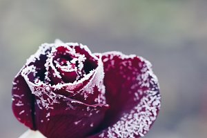 hoarfrost on roses