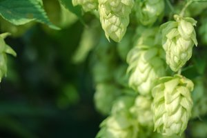 detail of hop cones on a blurred nat