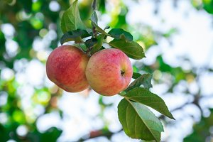 fresh apples on apple trees