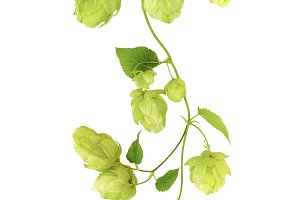 twig of ripe green hop on white back
