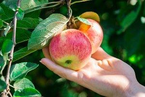 fresh apples on apple trees