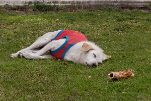 White Dog in a vest lying on the