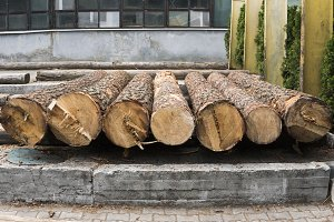 A pile of logs lie on a forest