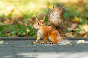 Squirrel in the autumn park