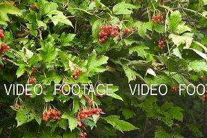Branch of viburnum berries.