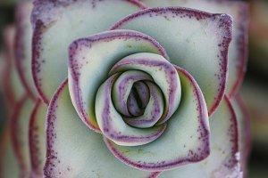 Macro succulent