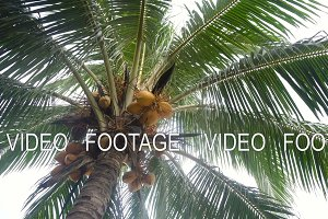 Coconut tree with coconuts.