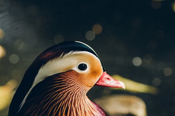 Animal Stock Photos: Sunshine Inspired Designs - Mandarin Duck #1