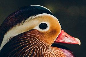 Mandarin Duck #2