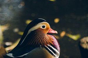 Mandarin Duck #4
