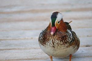 Mandarin Duck #6