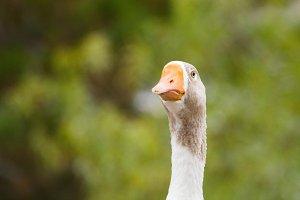Goose #3