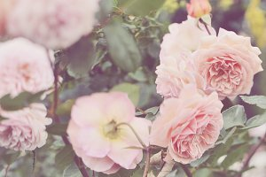 Blush Pink Roses Stock Photo