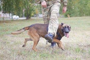 Trained german shepherd dog walking