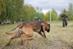A trained german shepherd dog