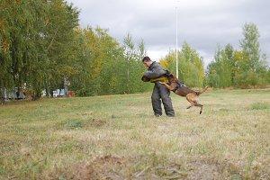 A trained german shepherd dog bites