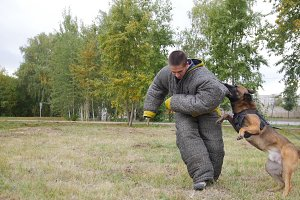 A trained german shepherd dog biting
