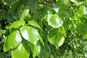 Lime Leaves Lime Tree