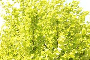 Spring Tree Beech Tree