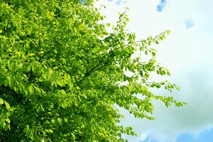 Spring Tree Leaves Beech Leaves