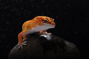 gecko, leopard lizard gecko, reptile