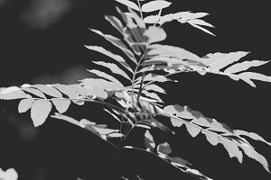 Black and White Leaves