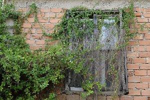 Window Overgrown Creeper Plant