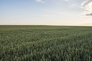Young green wheat field with evening