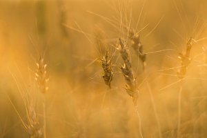 Yellow wheat ears on a field