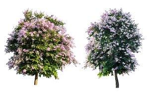 purple tree (Lagerstroemia) isolated