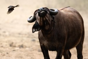 Irritated buffalo