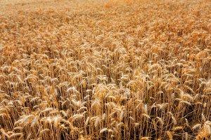 Golden wheat ears close up fields ha